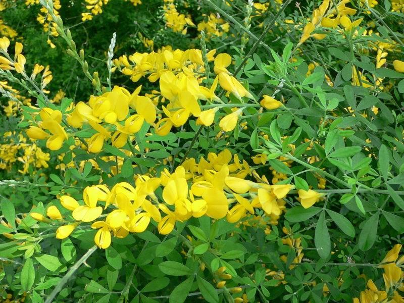 Травянистые растения с желтыми цветами фото и названия