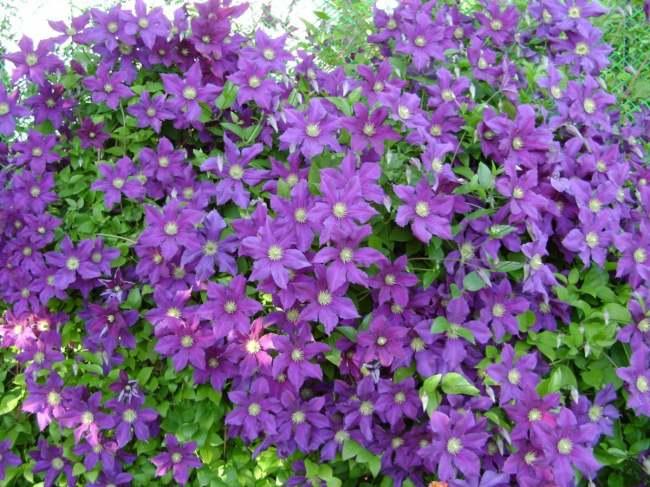 Клематис цветов цена за одну