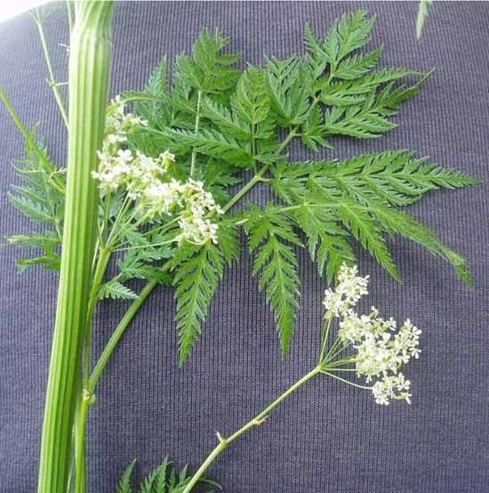 Трава похожая на укроп с белыми цветами